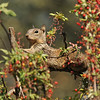 A juvenile Ground Squirrel stretched out on the limb of a Nevin's Barberry bush