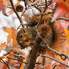 A Fox Squirrel in a Sweet Gum Tree