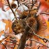 A Fox Squirrel in a Sweet Gum Tree