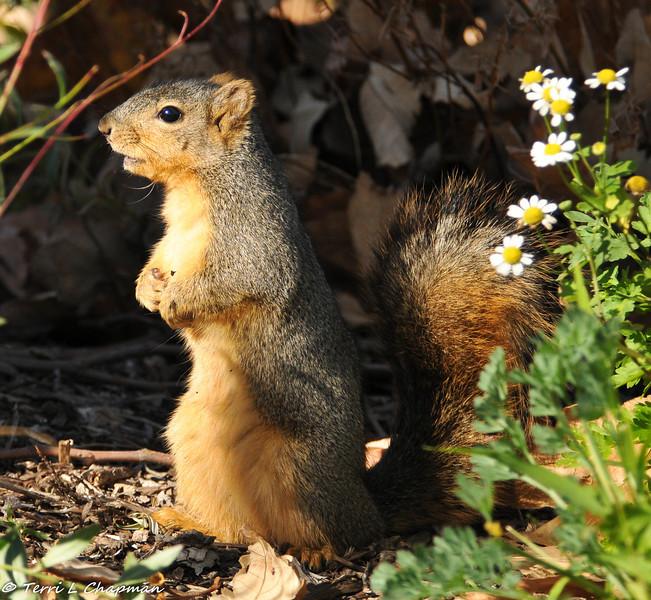 A Fox Squirrel on alert