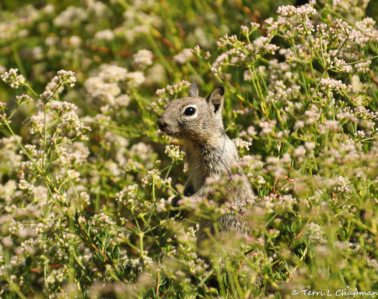 A baby Ground Squirrel peeking out from the top of a California Buckwheat bush to make sure it is safe to come out.