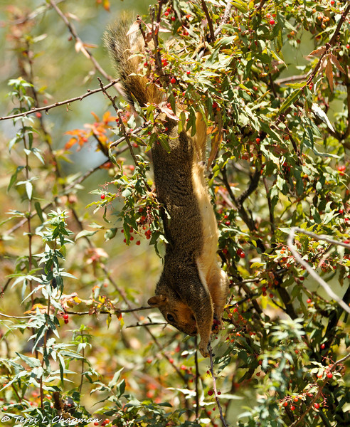 A Fox Squirrel hanging upside down from a Nevin's Barberry bush to get the best berries