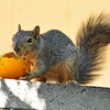 A juvenile Fox Squirrel enjoying an orange in my backyard