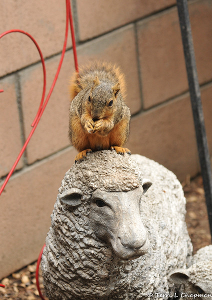 A female Fox Squirrel eating an almond on top of the head of my sheep statue