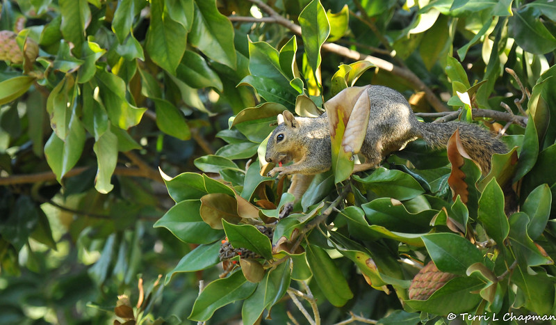 A Fox Squirrel eating the seeds from a Magnolia bloom