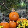 A female Fox Squirrel eating pumpkin seeds from the Autumn display at Descanso Gardens.