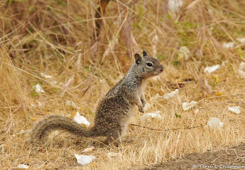 A baby Ground Squirrel in an open field