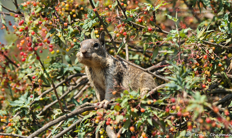 A Ground Squirrel on the look out from a Nevin's Barberry bush