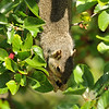 A female Fox Squirrel, hanging upside down, and enjoying the bountiful ripe Mulberries on the Mulberry tree