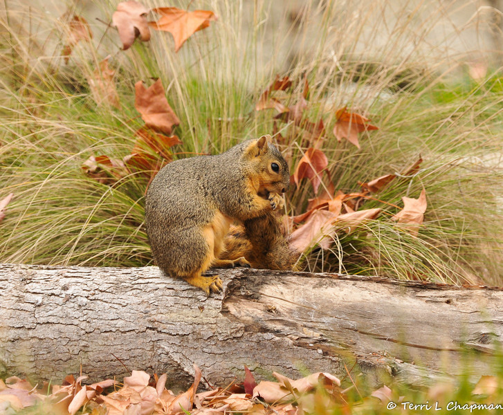 A Fox Squirrel grooming its tail