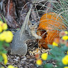 A female Fox Squirrel caught in the act of eating pumpkin seeds from  the Autumn display at Descanso Gardens.