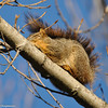 It was a very cold morning and this Fox Squirrel was soaking up the sun and still trying to wake up.