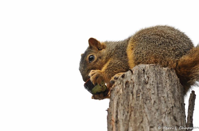 A Fox Squirrel eating a piece of avocado