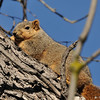 A Fox Squirrel sunning itself on a cold winter morning