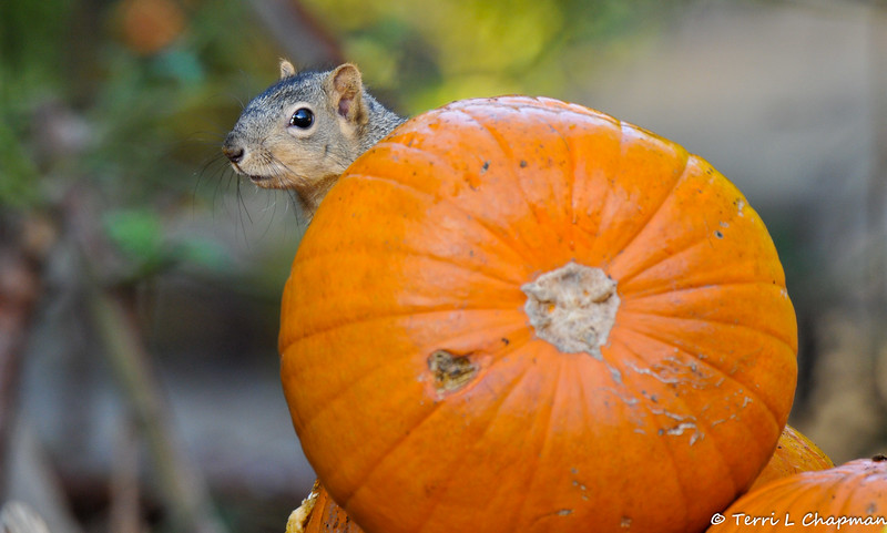 A female Fox Squirrel peeking around a pumpkin that was part of the Autumn display at Descanso Gardens.