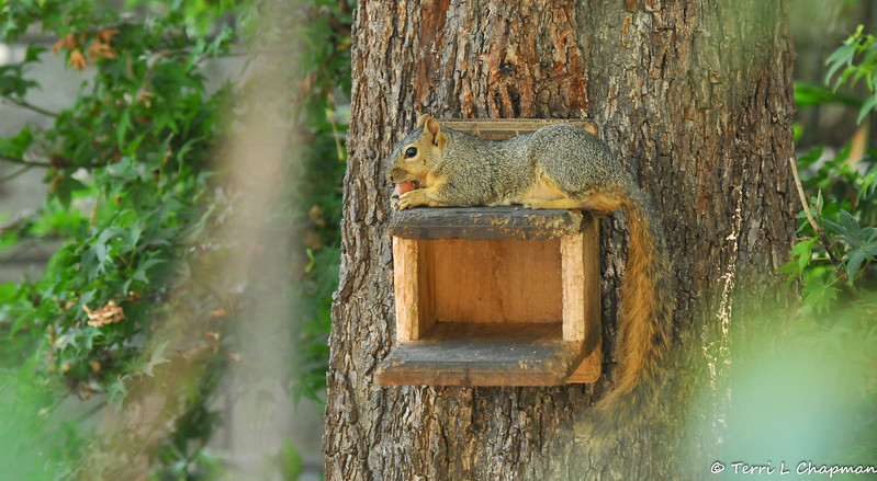 A female Fox Squirrel, relaxing on my squirrel munch box, as she enjoys a Hazelnut I gave to her.