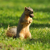 A Fox Squirrel in the park found a great nut!