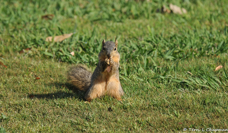 A female Fox Squirrel eating a seed pod that had dropped from a nearby tree