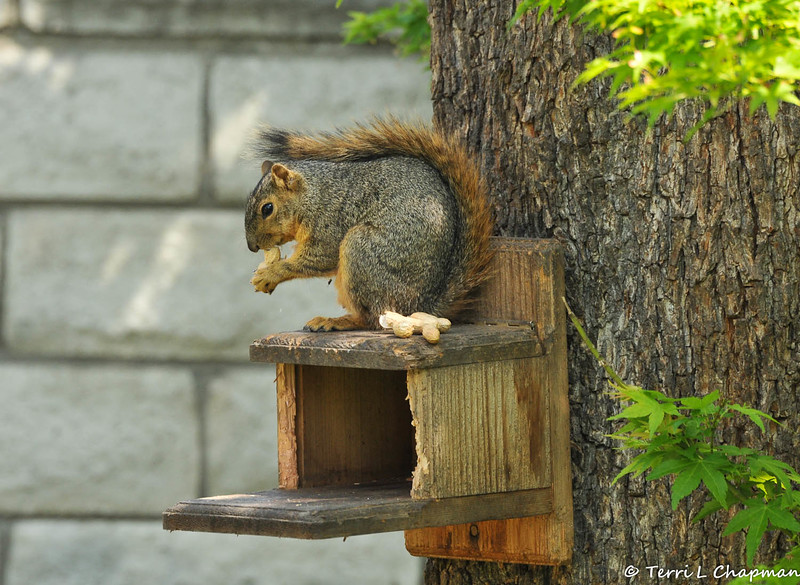 This is the final image of the Fox Squirrel that was photographed on March 22, 2015 in my backyard. I was fearful she was dead, or injured, but she was just napping in the munch box and when I offered her peanuts, she happily got up and ate them!