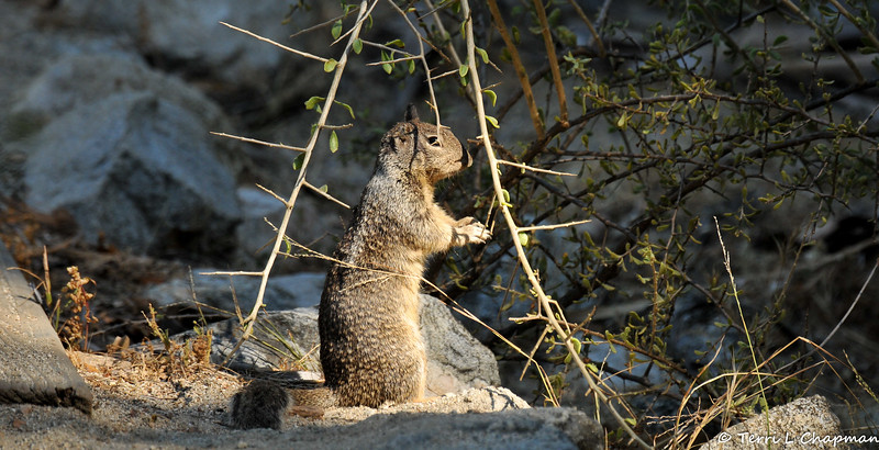 A Ground Squirrel on high alert. Note how it has a damaged ear on the right side