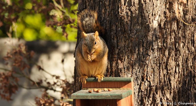 A Fox Squirrel