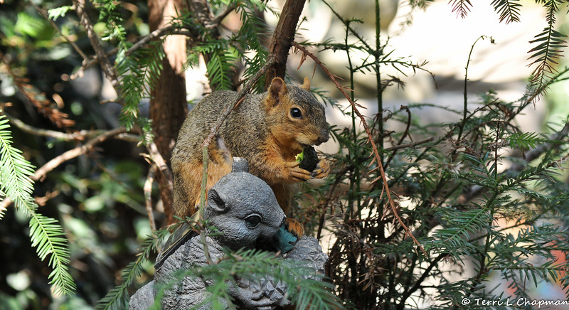 A female Fox Squirrel enjoying a slice of Avocado that I offered to her. Of course she had to jump up on my solar squirrel statue to eat her little snack!