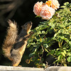 A Fox Squirrel reaching up to grab the roses to eat them!