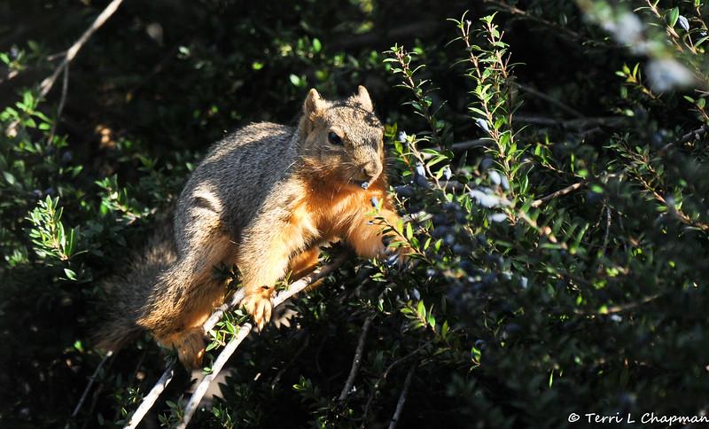 A Fox Squirrel eating berries off a bush.