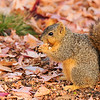 A Fox Squirrel enjoying a snack beneath a Sweet Gum tree