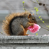 This little Fox squirrel had stolen a Camellia flower from my neighbor's garden and brought it into my yard to eat!!