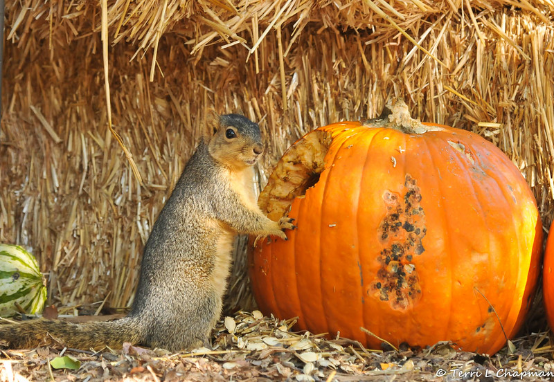 A Fox Squirrel caught in the act of eating the Autumn display pumpkin at Descanso Gardens!