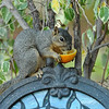 A Fox Squirrel using my water fountain as a perch to eat an orange