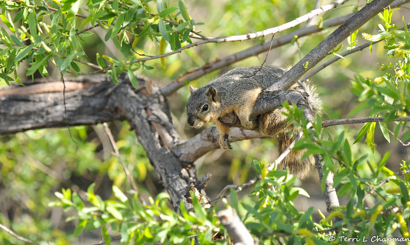 A resting Fox Squirrel