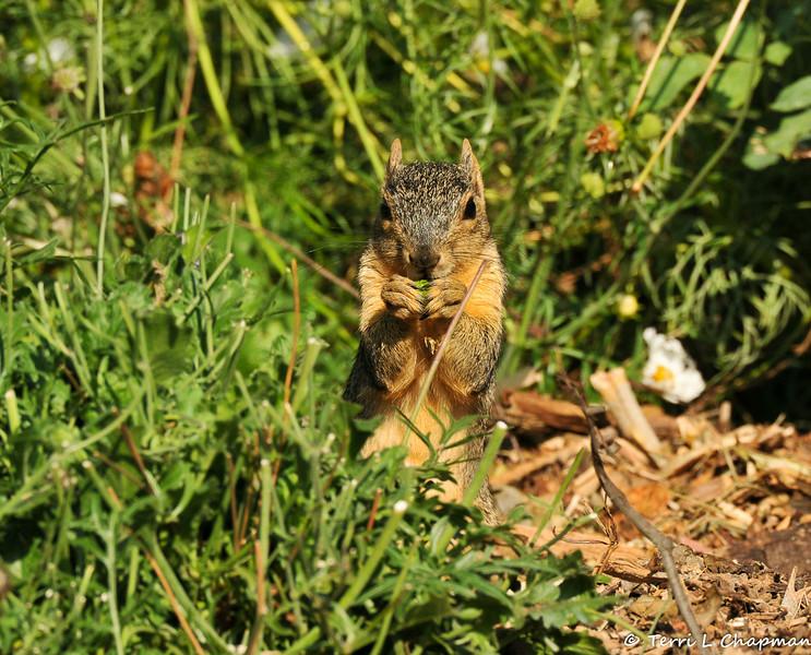 A Fox Squirrel eating a flower bud