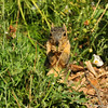 A Fox Squirrel eating a flower bud