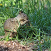 A Ground Squirrel eating something off the roots of the vegetation it pulled up from the ground.