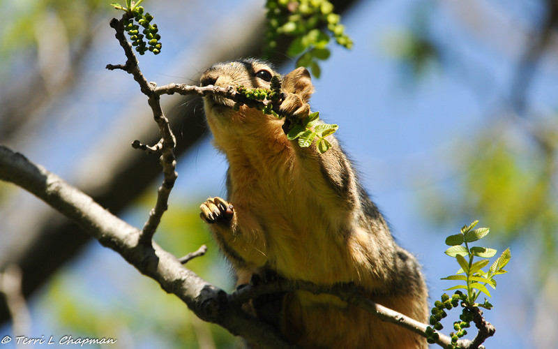 A Fox Squirrel eating the fresh buds of Spring