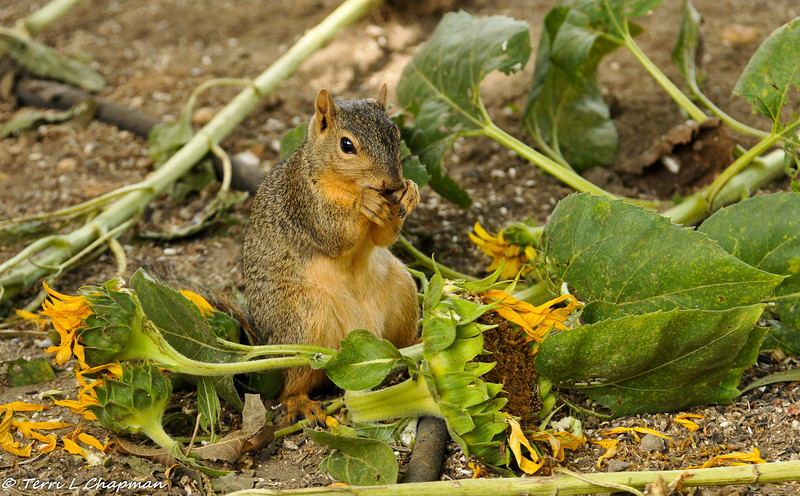 A Fox Squirrel enjoying a sunflower in my backyard