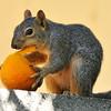 A baby Fox Squirrel enjoying an orange in my backyard