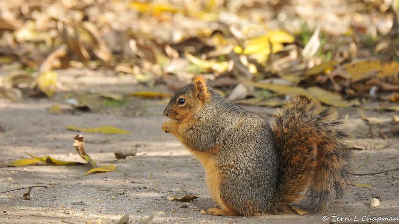 A male Fox Squirrel snacking on a walnut in my backyard