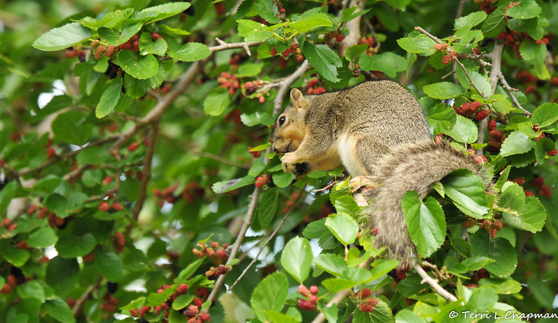 A Fox Squirrel enjoying the ripe berries in the Mulberry tree
