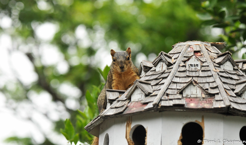 A Fox Squirrel on my birdhouse. Now, this use to be a beautiful birdhouse, until the crows broke off the top of it by perching on it every day,  and the squirrels decided to climb the 5 foot post to chew on all the wood parts! And, that's the way it is with wild critters! No birds ever nested in it because there was too much traffic on it!