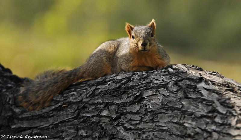 A Fox Squirrel relaxing