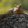A Fox Squirrel relaxing