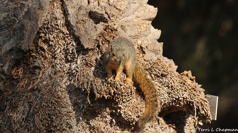 A Fox Squirrel on the base of a Palm tree