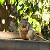 A male Fox Squirrel (juvenile) eating sunflower seeds from my platform feeder