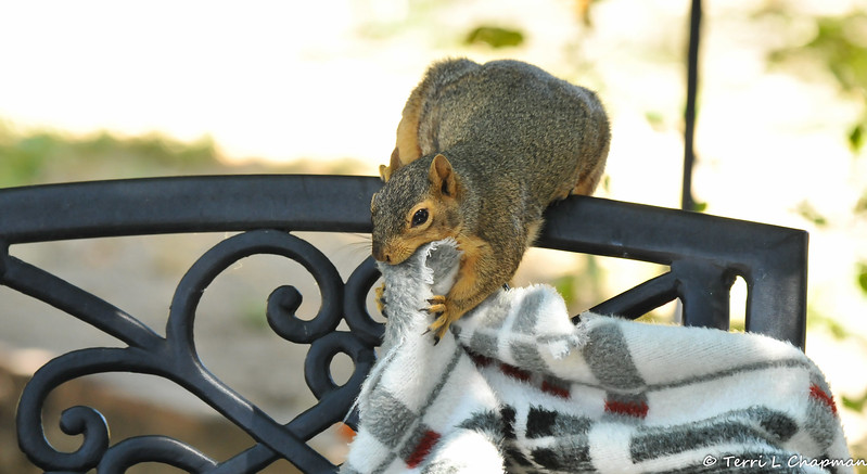 On my back patio, this pregnant Fox Squirrel was trying to rip a piece of fabric from this blanket so she could add it to the nest she was building in my Tangerine Tree!