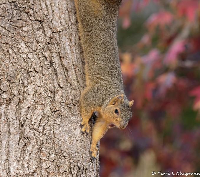 A yawning Fox Squirrel