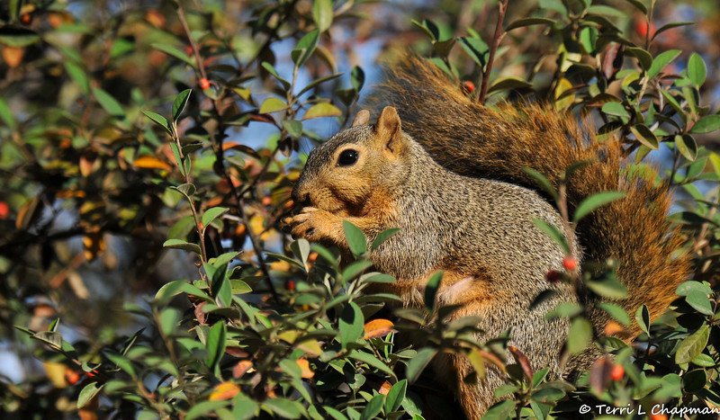 A female Fox Squirrel eating Cotoneaster berries