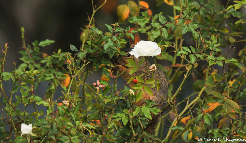 Can you see me? A female Fox Squirrel eating rose hips in my rose garden.